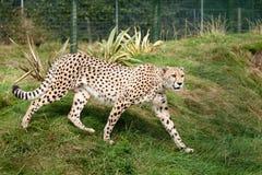 Gepard, der durch Gras in der Einschließung Nachrichtenmengendosierung ist Stockbilder