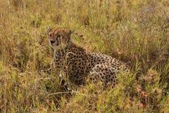 Gepard, der in ein hohes Gras legt stockfotos
