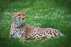 Gepard, der in einem Gras liegt Stockbild