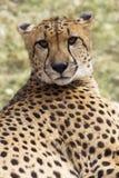 Gepard, der entlang der Kamera anstarrt Stockbild