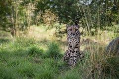 Gepard in der Gefangenschaft lizenzfreie stockbilder