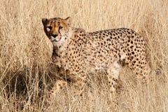 Gepard, der in Gras geht Lizenzfreie Stockbilder