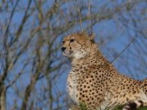 Gepard, der heraus über dem Horizont schaut stockfotos