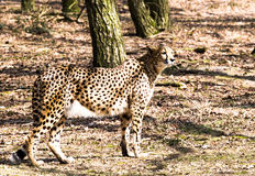Gepard, der herum schaut lizenzfreie stockfotografie