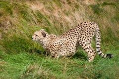 Gepard, der im Gras betriebsbereit sich zu stürzen sich duckt Lizenzfreies Stockbild