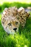 Gepard, der im Gras liegt Lizenzfreies Stockbild