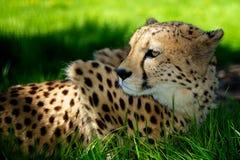 Gepard, der im Gras liegt Lizenzfreie Stockfotos