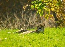 Gepard, der im Gras liegt Stockfoto