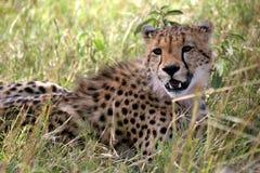 Gepard, der im Gras liegt Stockbild