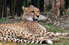 Gepard, der im Schatten der Bäume stillsteht Stockbild