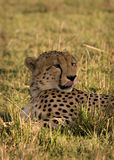 Gepard, der Lippen leckt Lizenzfreies Stockfoto