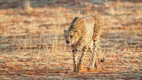 Gepard, der nach Opfer, Nationalpark Etosha, Namibia sucht stockfoto