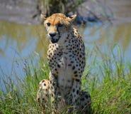 Gepard, der nahe einem Fluss sitzt Lizenzfreie Stockfotos