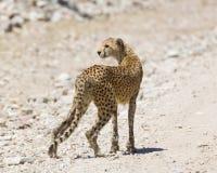 Gepard, der in Ngorogoro anstarrt Lizenzfreie Stockfotos