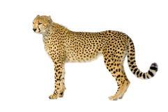 Gepard, der oben steht Stockbild