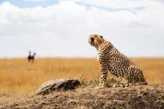 Gepard, der Opfer im Hintergrund betrachtet lizenzfreie stockfotos