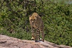 Gepard, der in Richtung zu uns auf dem Serengeti läuft stockbilder