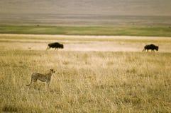 Gepard in der Savanne Stockbilder