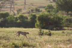 Gepard, der in Savanne Südafrika geht Lizenzfreie Stockfotografie