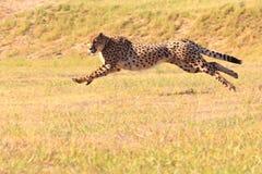 Gepard, der schnell läuft Lizenzfreie Stockfotografie