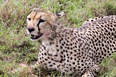 Gepard, der seine Mahlzeit isst Lizenzfreie Stockbilder