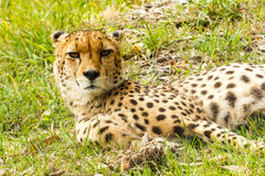 Gepard, der seinen Kopf anhebt lizenzfreies stockfoto