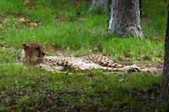 Gepard, der sich hinlegt Lizenzfreie Stockfotografie