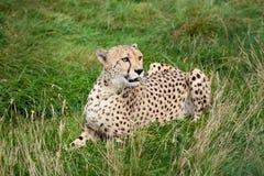 Gepard, der sich im langen Gras hinlegt Lizenzfreie Stockbilder