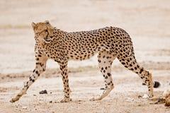 Gepard, der in trockenen Riverbed geht Lizenzfreie Stockfotografie