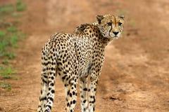 Gepard, der uns aufpasst Lizenzfreies Stockfoto