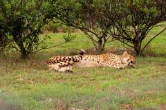 Gepard, der unter einem Baum in Südafrika schläft Stockfotografie