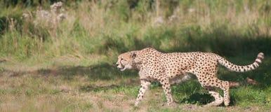 Gepard, der vom Recht nach links geht Stockbild