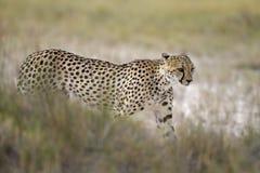 Gepard, der in Wiese geht Lizenzfreie Stockbilder