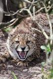 gepard devensive zdjęcie royalty free
