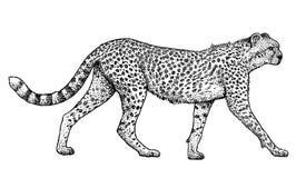 Gepard djur, däggdjurs- illustration, teckning, gravyr, färgpulver, linje konst, vektor Stock Illustrationer