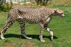 gepard dorosłych Obrazy Royalty Free