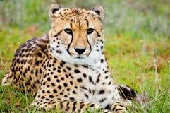 gepard dumny Obrazy Royalty Free