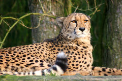 Leopard in the evening sun. Leopard in a Zoo looking into the evening sun Royalty Free Stock Image