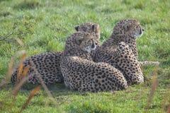 Gepard för tre barn Arkivbild