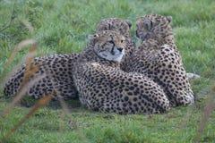 Gepard för tre barn Royaltyfria Bilder