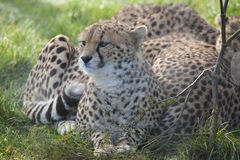 Gepard för tre barn Royaltyfri Bild