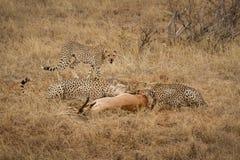 Gepard-Familie Stockbild