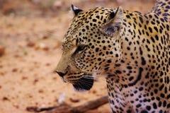 Gepard gefangen genommen in Namibia lizenzfreie stockfotografie