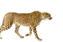 Gepard-Gehen Stockfotografie
