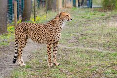 Gepard Gepard, Acinonyx jubatus Stockfoto