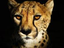 Gepard-Gesicht Stockfotografie