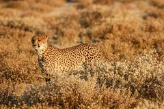Gepard getarnt im Busch Lizenzfreies Stockbild