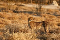 Gepard getarnt im Busch Stockbilder