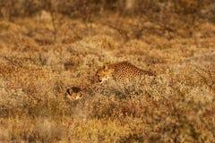 Gepard getarnt im Busch Stockbild