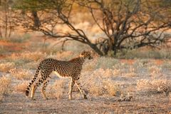 Gepard getarnt im Busch Lizenzfreie Stockfotografie